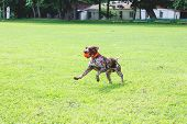 A Wonderful Young Dog Of Breed German Shorthaired Pointer  Running On The Grass With A Ball In His T poster