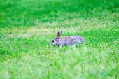 Gray Hare In Green Grass In The Forest. Space For Text. poster