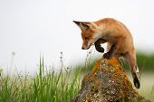Baby Fox. Young Red Fox On The Stone Near His Hole. poster