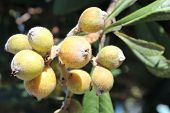 pic of loquat  - A cluster of ripe, yellow loquats on a tree with leaves. ** Note: Shallow depth of field - JPG