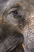 Elephant eye close up. Asian elephant in elephant camp in Thailand. poster