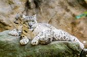 stock photo of panthera uncia  - lying family of Snow Leopard Irbis  - JPG
