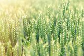 Unripe Green Wheat Field (green Wheat Field) - Green Wheat Field Lit By Sunlight poster