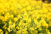 Macro Photo Of Wildflowers. Bright Yellow Flowers In The Morning Close Up. Natural Summer Floral Bac poster