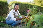 Portrait of mature woman picking vegetable from backyard garden. Black woman taking care of plants i poster
