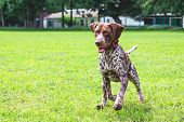 The Dog German Shorthaired Pointer  Runs On A Green Field. A Dog With A Nice Expression Of The Face poster