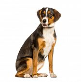 Mixed-breed dog between a border collie and a malinois sitting against white background poster