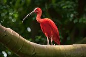 picture of scarlet ibis  - Scarlet Ibis bird with long beak perched in tree - JPG
