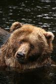 Animals: Brown Bear In The Water Looking At You poster