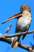 pic of nightingale  - Luscinia luscinia - JPG