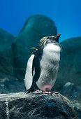 stock photo of langkawi  - Rockhopper penguin on rock at Underwaterworld Langkawi Malaysia - JPG