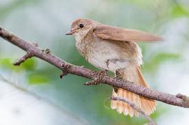foto of nightingale  - Luscinia luscinia - JPG