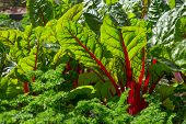 stock photo of greenery  - Beet leaves in sunlight - JPG