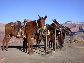 stock photo of jack-ass  - mules at a hitching post in the grand canyon - JPG