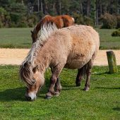 pic of great horse  - The wild pony in New Forest National Park in Great Britain - JPG