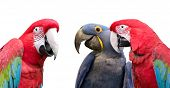 picture of threesome  - Three colorful parrots meeting together to discuss the day - JPG