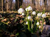 foto of lent  - Lent Lilies growing in a park in Germany - JPG