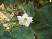 stock photo of brinjal  - White colour Brinjal flower waiting for pollination - JPG