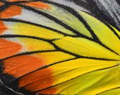 Close Up Of Painted Jezebel Butterflys Wings In Great Texture poster