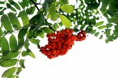 image of mountain-ash  - Branch of mountain ash on white background - JPG