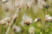 Fading Coltsfoot (Tussilago Farfara) Flowers In Autumn