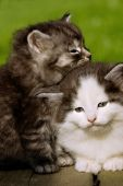 picture of snuggle  - two adorable small kittens snuggling together outside - JPG