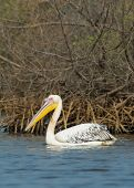 Great White Pelican In The Mangroves