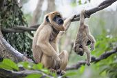 pic of baby-monkey  - Mother Howler Monkey Sitting on a Tree Branch with Baby Monkey Hanging Upside Down  - JPG