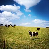 stock photo of dairy cattle  - Dairy cows in paddock - JPG