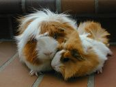 foto of guinea pig  - Mother and son peruvian guinea pig pair - JPG