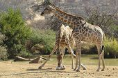 picture of deprivation  - two giraffes in the savanna will deprive the stone - JPG