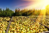 picture of crate  - Freshly harvested pears in big wooden crates - JPG