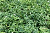 picture of ascending  - Kitchen garden of the ascended and blossoming potato  - JPG