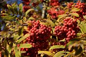 picture of mountain-ash  - Fruits of mountain ash tree - JPG