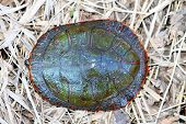 image of winnebago  - Painted Turtle  - JPG