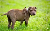 stock photo of shar-pei puppy  - Adorable Shar Pei puppy - JPG