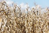 picture of drought  - image of drought corn field outdoor background - JPG