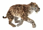 picture of saber  - 3D digital render of a Smilodon or a saber toothed cat isolated on white background - JPG