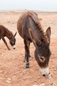 stock photo of wild donkey  - Brown donkey at field at summer - JPG