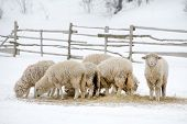 image of sheep  - Sheep feeding in winter time - JPG