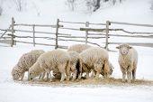 foto of sheep  - Sheep feeding in winter time - JPG