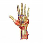 foto of wrist  - The wrist links the hand to the arm - JPG