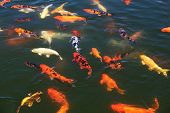 stock photo of koi  - Flock of fish Koi in the pond - JPG