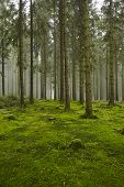 picture of diffusion  - A forest with trees stubs and a moss - JPG