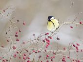 stock photo of tit  - Great tit  - JPG