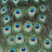 stock photo of indian peafowl  - Details of feathers of an Indian peafowl during courtship - JPG