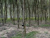 image of langkawi  - View of a rubber plantation in the Malaysia Langkawi