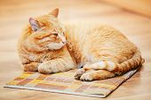 image of orange kitten  - Peaceful Orange Red Tabby Cat Male Kitten Curled Up Lying In His Bed On Laminate Floor - JPG