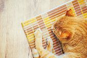 picture of orange kitten  - Peaceful Orange Red Tabby Cat Male Kitten Curled Up Sleeping In His Bed On Laminate Floor - JPG