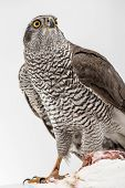 pic of merlin  - Hawk hunting a white pigeon on white background - JPG